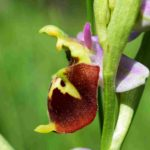 Ophrys druentica – Juin 2019