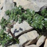 Heracleum pumilum – Août 2019