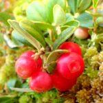 Vaccinium vitis-idaea – Septembre 2019