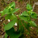 Euphorbia peplus – Décembre 2019