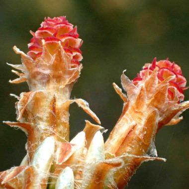 Pinus sylvestris – Mai 2020