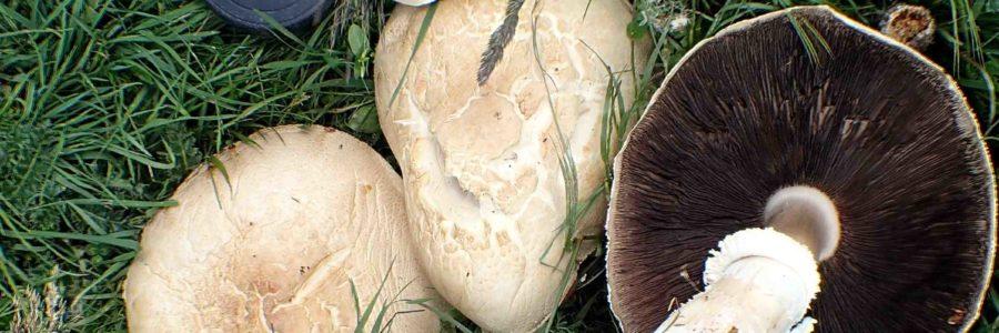 Agaricus albertii – Juin 2020