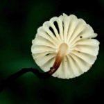 Marasmius rotula – Août 2020
