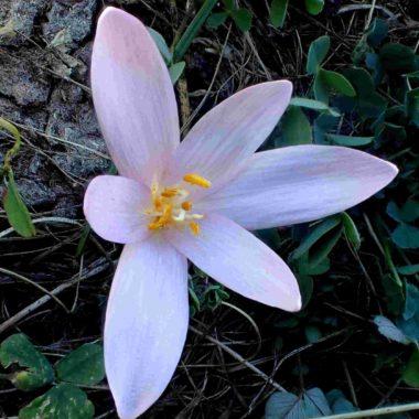 Colchicum autumnale – Octobre 2020
