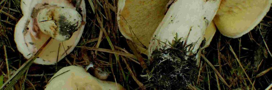 Suillus luteus – Octobre 2020