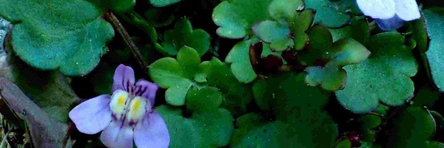 Linaria cymbalaria – Janvier 2021